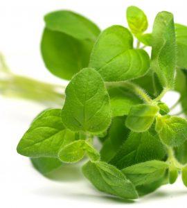 گیاه پونه