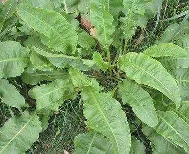 گیاه ترشک